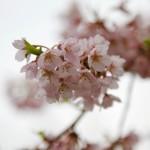 sakura-wallpaper-5