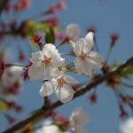sakura-wallpaper-2