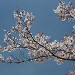 sakura-wallpaper-3