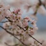 sakura-wallpaper-4