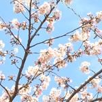 sakura-wallpaper-7