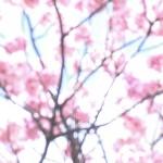 sakura-wallpaper-8